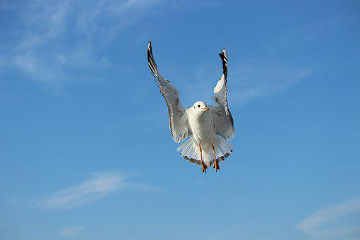 Seagull, Bird, Sky, Nobility, Flying, Animal, Nature