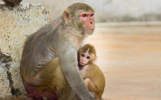 Monkey, Primate, Ape, Zoo, Mother, Animals, Nature