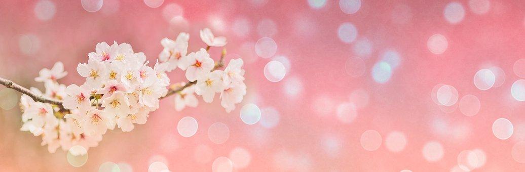 Cherry Blossoms, Spring, Bokeh, Banner, Header