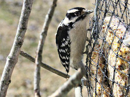 Woodpecker, Downy, Downy Woodpecker, Bird, Closeup