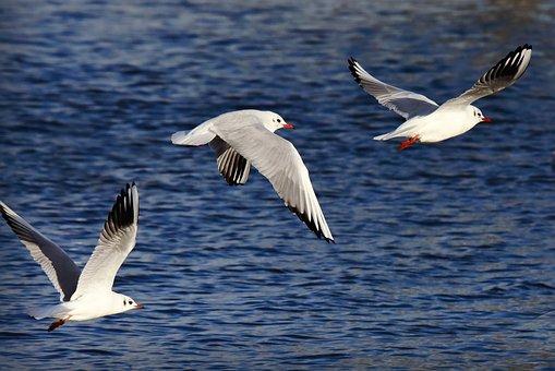 Seagull, Gull, Bird, Animal, Sea Bird, Wildlife, Flight