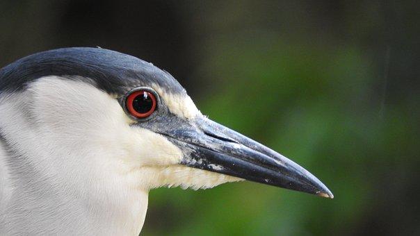 Punch, Bird, Wild, Nature, Striated Heron, Eye, Looking