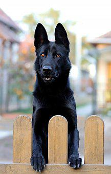 Black German Shepherd, Dog, Black, Canine, Fence