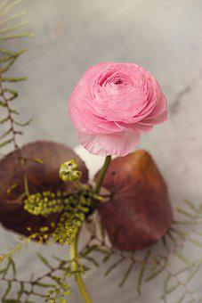 Ranunculus, Flower, Blossom, Bloom, Pink, Pink Flower