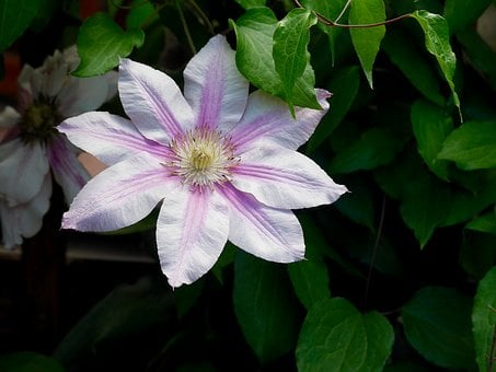 Clematis, Bloom, Purple, Lilac, Blossom, Flower, Nature