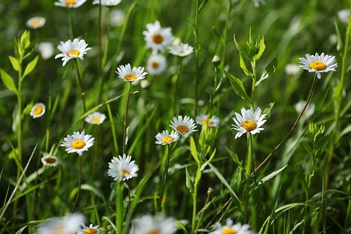 Chamomile, Flower, Summer, Plant, White, Meadow, Flora