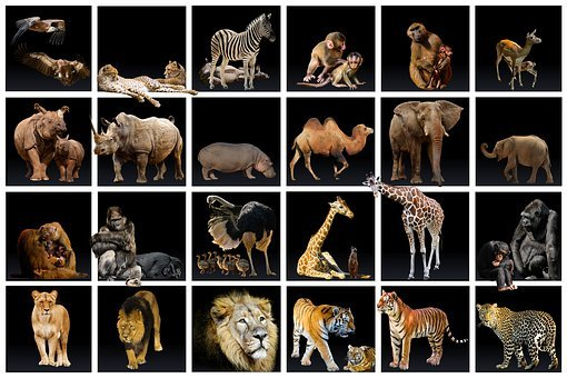 Animal World, Collection, Predator, Lion, Tiger