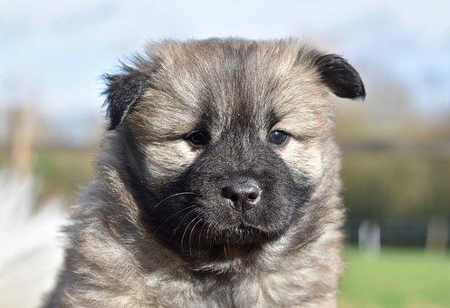 Dog, Puppy, Eurasier Puppy, Eurasier Female