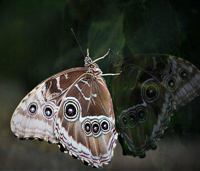 Butterfly, Edelfalter, Owl Butterfly, Tropical