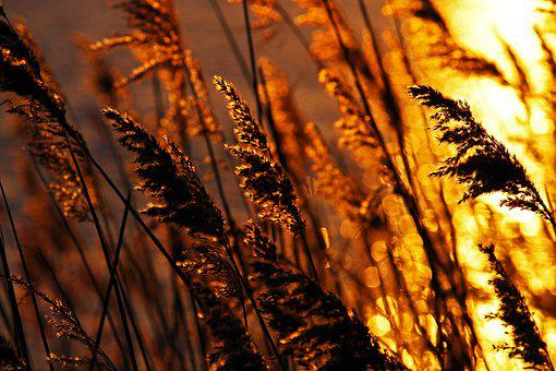 Sunset, Evening Sun, Reed, Shining, Nature, Mood