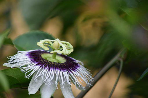 Passion Fruit, Flower, Flourish, Flowering, Exotic