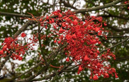 Flame Tree, Brachychiton Acerifolius, Tree, Blossom