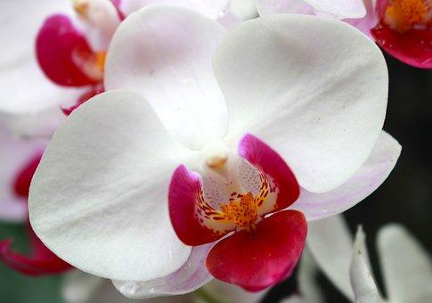 Orchid, Flower, Exotic, Botanical, Petal, Flora, White