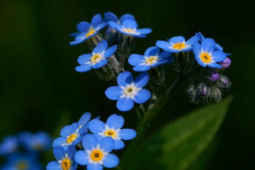 Forget Me Not, Nature, Flower, Blossom, Bloom, Flora