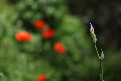 Iris, Flower, Bloom, Nature, Violet, Floral