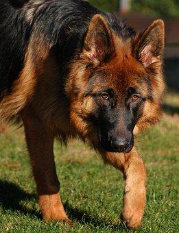 Dog, Schäfer Dog, German Shepherd