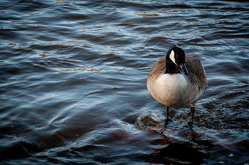 Bernikla Canadian, Bird, Water, Park, Goose