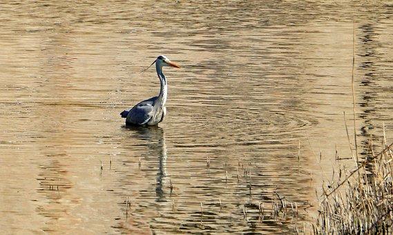 Grey Heron, Waters, Moat, Water, Bird, Nature, Heron