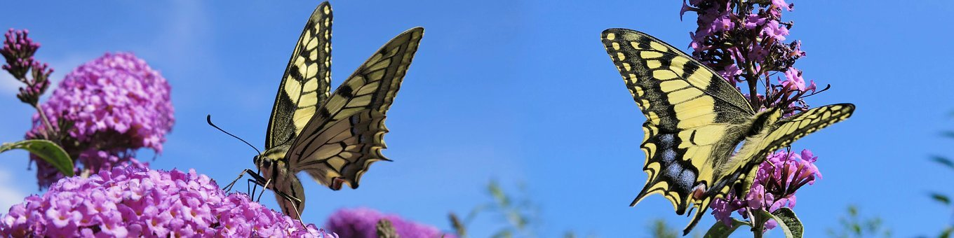 Dovetail, Insect, Nature, Butterflies, Butterfly
