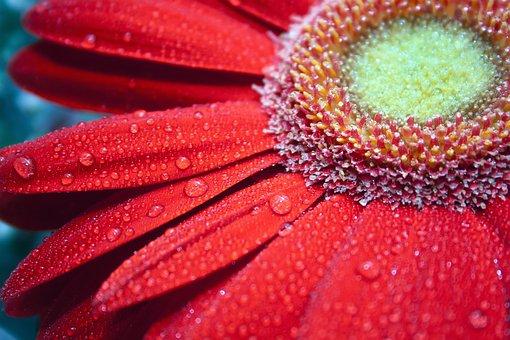 Red, Flower, Gerbera, Bright, Macro, Large, Rosa, Color