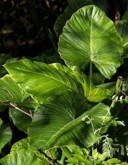 Leaf, Green, Rain Forest, Wild, Native Lily, Cunjevoi