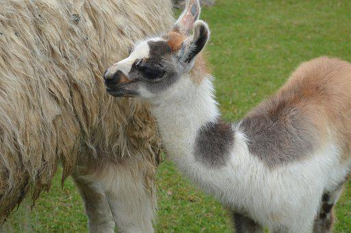 Baby, Llama, Peru, Macchu Picchu