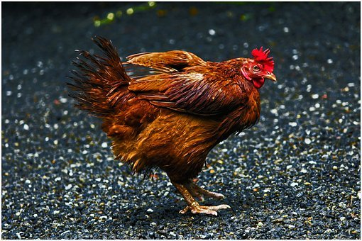 Bird, Hen, Poultry, Animal, Chicken, Rooster, Nature