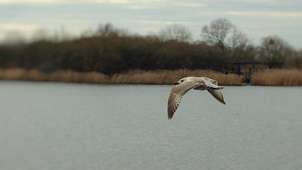 Common Tern, Birds, Flight, River, Nature