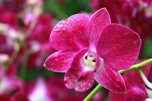 Orchid, Flower, Nature, Exotic, Tropical, Purple, Petal