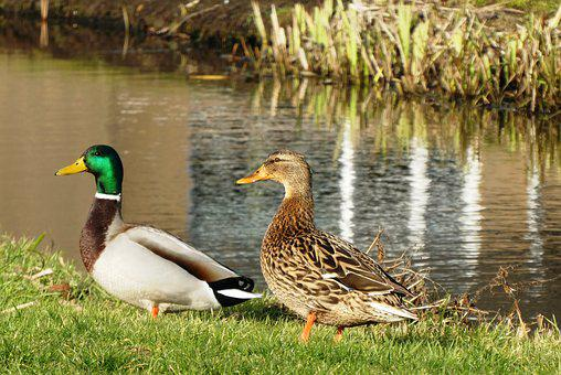Ducks, Pair, Totter, Nature, Feathers, Plumage