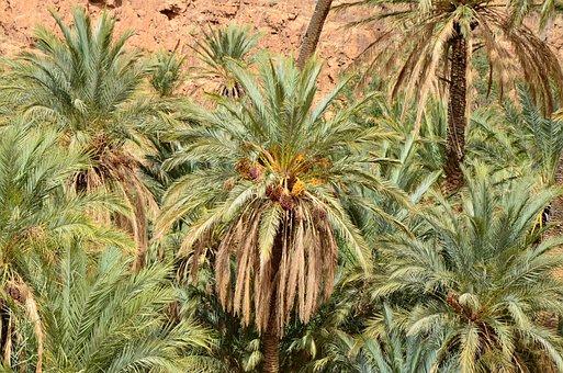 Palm Trees, Desert, Oasis, Landscape, Sand, Palm