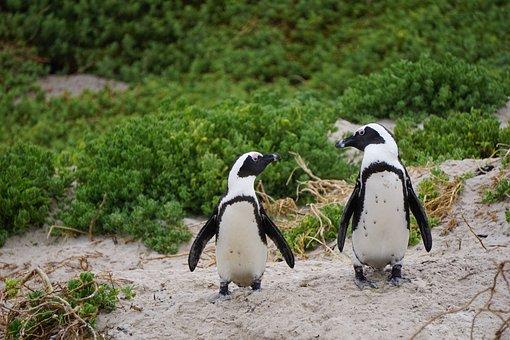 Penguins, Bird, Penguin, Boulders Beach, South Africa