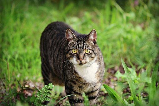 Cat, Mackerel, Feline, Animal, Mammal, Per, Domestic