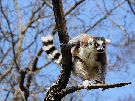 Lemur, Prosimian, Primate, Kata, Tree, Jump, Nimble