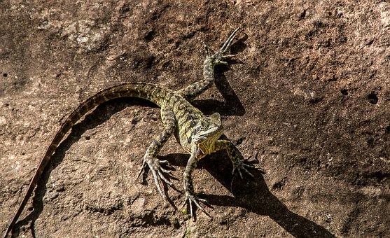Lizard, Reptile, Eastern Water Dragon