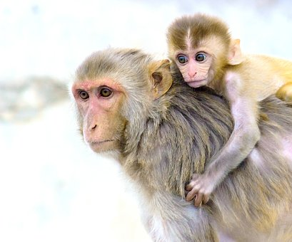 Monkey, Animals, Mammals, Nature, Rhesus Macaque