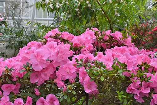 Rhododendron, Rhododendron Buds, Perennials, Flowers