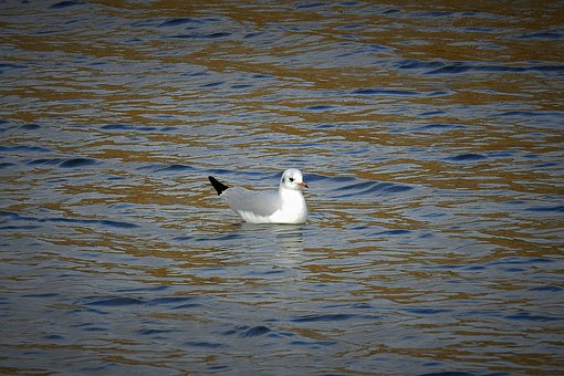 Seagull, Water, River, Birds