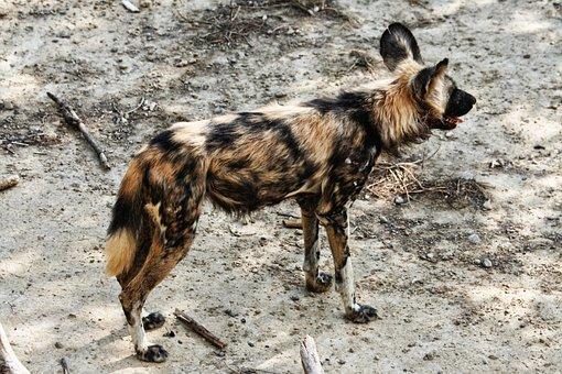 Lycaon, Fauna, Wild, Sigean, France, Dog African