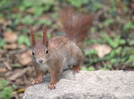 The Squirrel, Animal, Rodent, Mammal, Nature, Hairy