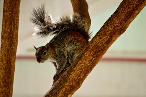Squirrel, Forest, Coffee, Rodent, Tree, Branch