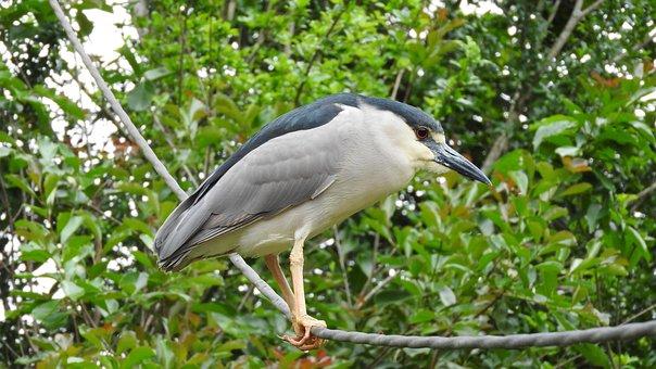 Punch, Bird, Nature, Striated Heron, Wild, Eye, Look