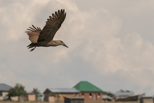 Bird, Flight, Hammerkop, Nature, Wildlife