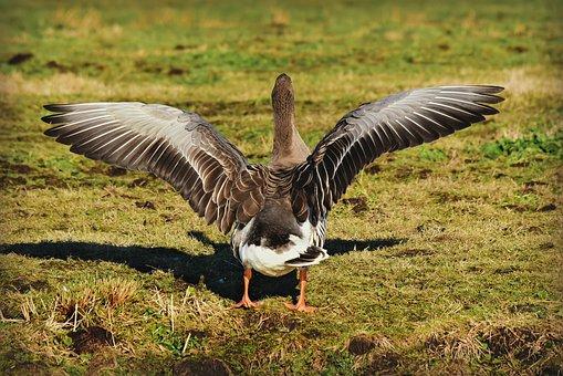Goose, Water Bird, Animal, Wildlife, Wing, Flapping