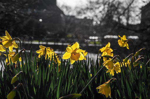 Daffodils, Narcissus, Flower, Yellow, Spring