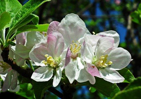 Apple, Flowers, Spring, Rozkwitnięte, Nature, Tree