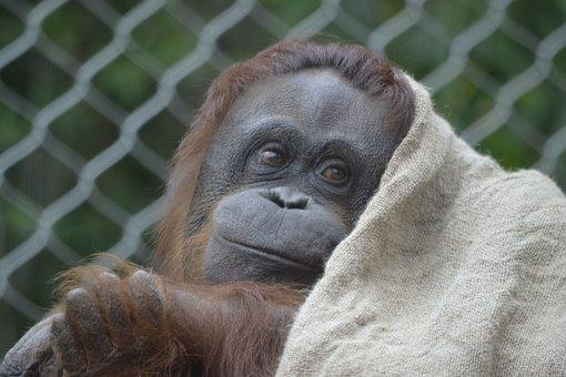 Orangutan, Pink, Zoo, Animal, Cute, Baby
