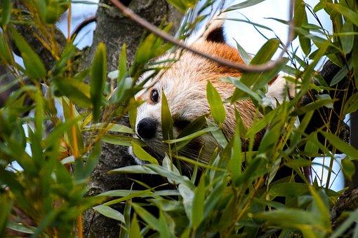 Red Panda, Panda, Animal, Bear, Bear Cat, Zoo, Bamboo