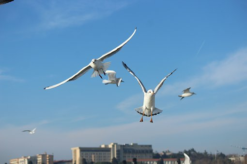 Seagull, Gulls, Bird, Birds, Sky, Sports, Animal