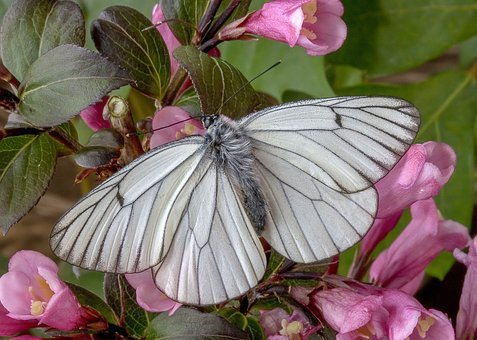 Butterfly, Black-veined-white, Colorful, Pattern